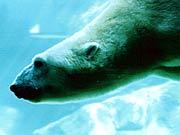 Picture of polar bear at the Seneca Park Zoo.