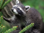 Picture of racoon.